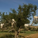 Cabras en los árboles